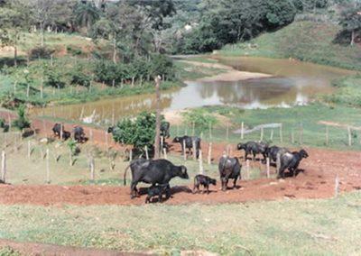 1986 - Criação de búfalos da Fazenda Palmipal